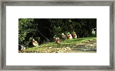 Mallards Walk Framed Print