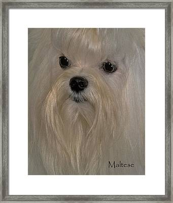 Maltese Framed Print by Larry Linton