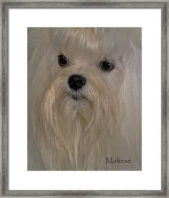 Maltese Framed Print