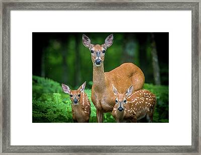 Mama And Fawns Framed Print