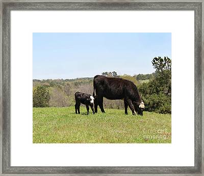 Mama Cow And Calf In Texas Pasture Framed Print
