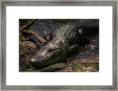 Mama Gator Framed Print by James Jones