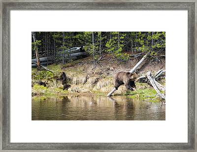 Mama Grizzly And Her 3 Cubs Framed Print