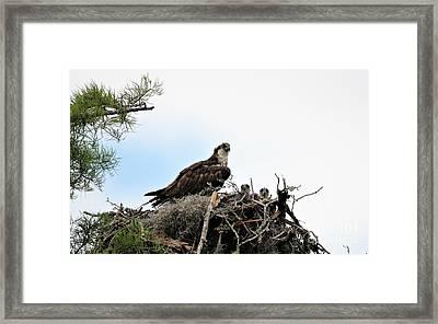 Mama Osprey With Babies Framed Print