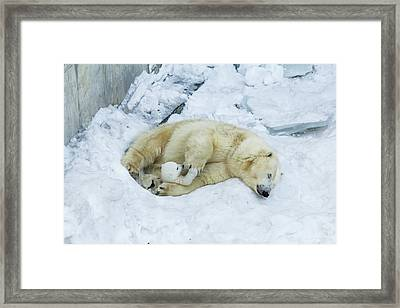 Mama Polar Bear Playing With Her Child. Framed Print by Andrey Tsvirenko