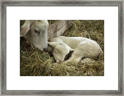 Mama's Lil Lamb Framed Print