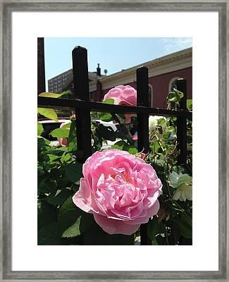 Mamie Pink Rose Framed Print by Carolyn Quinn