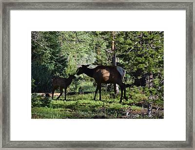Elk Calf - Mother Rmnp Co Framed Print