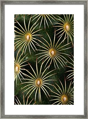 Framed Print featuring the photograph mammillaria elongata Cactus  by Catherine Lau