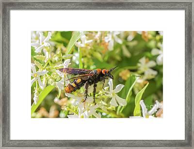 Mammoth Wasp Megascolia Maculata Maculata Framed Print by Jivko Nakev