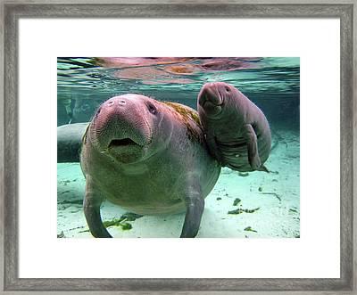 Manatee Mom And Calf Framed Print