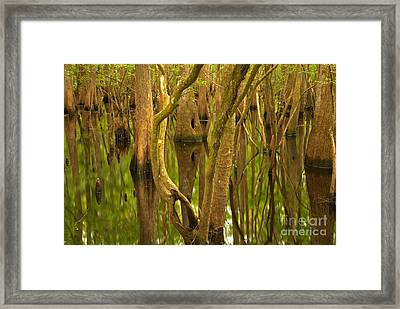 Manatee Springs Cypress Reflections Framed Print by Adam Jewell