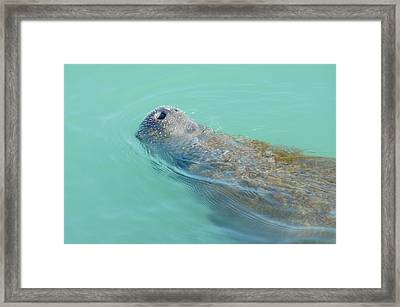 Framed Print featuring the photograph Manatee Surfaces For Air by Lynda Dawson-Youngclaus