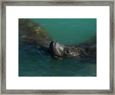 Framed Print featuring the photograph Manatee With Seaweed Snack by Lynda Dawson-Youngclaus