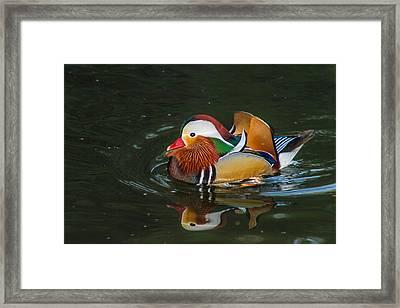 Mandarin 2 Framed Print