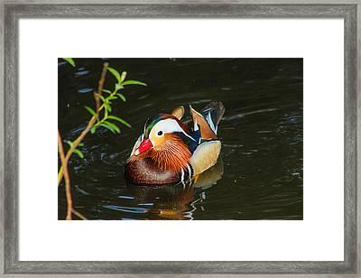 Mandarin 3 Framed Print