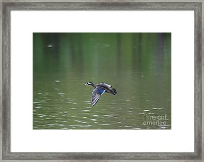 Mandarin Duck 20130507_50 Framed Print