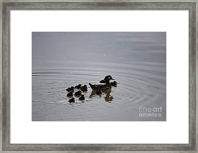 Mandarin Duck And Babes 20130508_227 Framed Print by Tina Hopkins