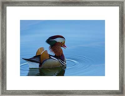Majestic Mandarin Duck Framed Print