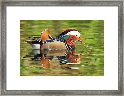 Framed Print featuring the photograph Mandarin Duck by Ram Vasudev