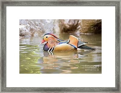 Mandarin Duck Swimming Framed Print by Cesar Padilla