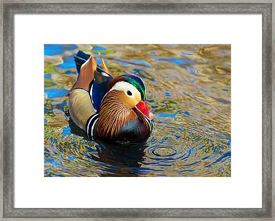 Mandarin Duck Swirls Framed Print