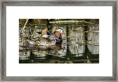 Mandarin Ducks The Couple Framed Print by Torbjorn Swenelius