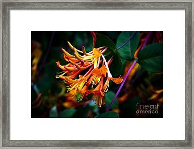 Mandarin Honeysuckle Vine 1 Framed Print