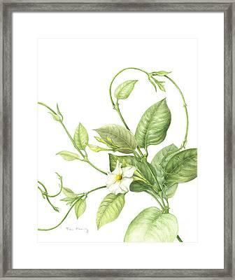 Mandevilla Vine Framed Print by Fran Henig