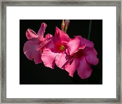 Mandevilla Framed Print