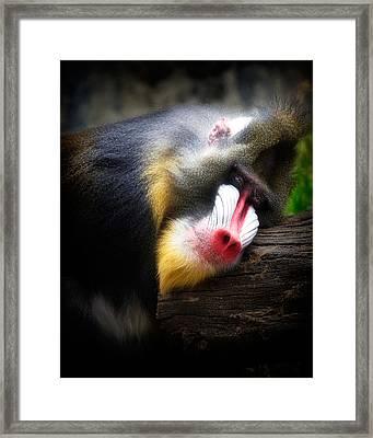 Mandrill Baboon Framed Print