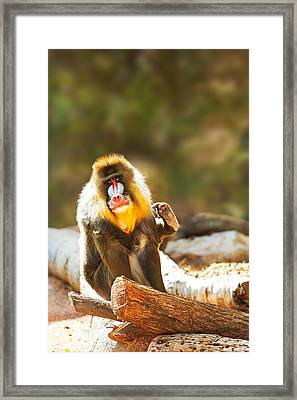 Mandrill Baboon Looking At Camera Scratching Framed Print