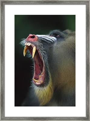 Mandrill Mandrillus Sphinx Adult Male Framed Print