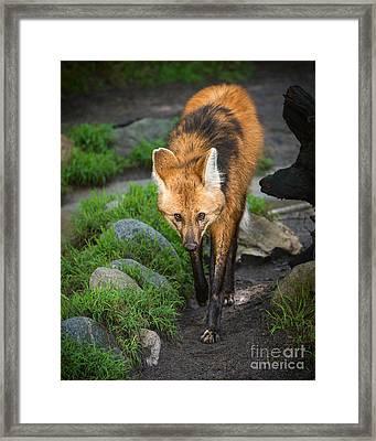 Maned Wolf Walk Framed Print by Jamie Pham