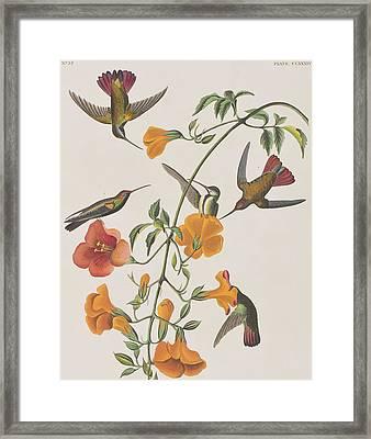 Mango Humming Bird Framed Print