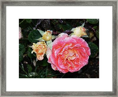 Mango Rose Framed Print