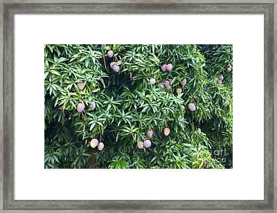Mango Tree Framed Print by Inga Spence