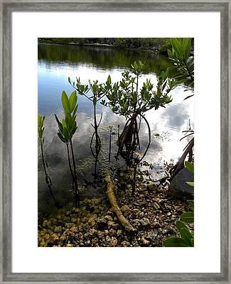 Mangrove 2 Framed Print by Patricia Bigelow