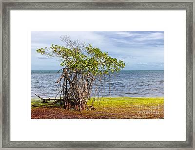 Mangrove At Florida Keys Framed Print by Elena Elisseeva