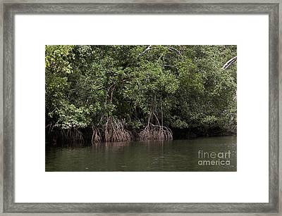 Mangrove Tree In Orinoco Delta Framed Print by Gerard Lacz