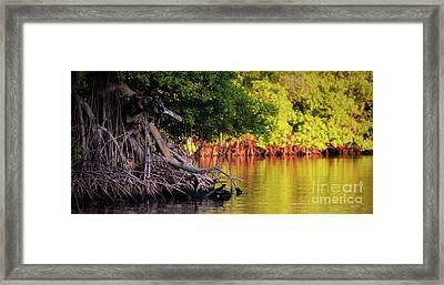 Mangroves Of Roatan Framed Print by Doug Sturgess