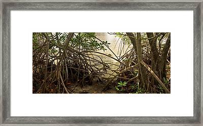 Mangroves On New River Framed Print by Matt Tilghman