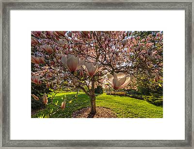 Manito Magnolia In Bloom Framed Print by Mark Kiver