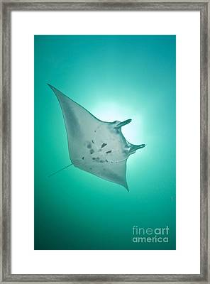 Manta Ray With White Belly, Komodo Framed Print by Mathieu Meur