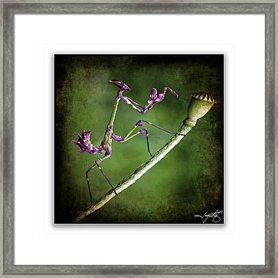 Mantis 1 Framed Print by Ingrid Smith-Johnsen