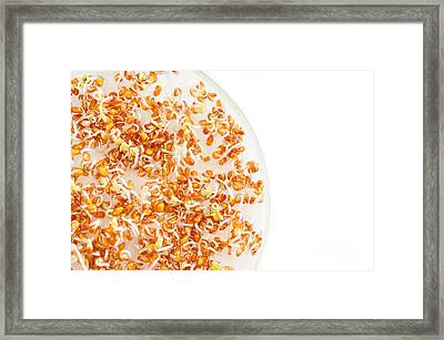 Many Lepidium Sativum Or Cress Sprouts  Framed Print
