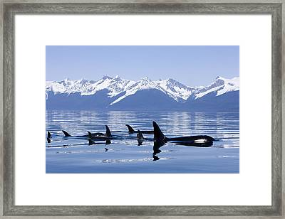 Many Orca Whales Framed Print
