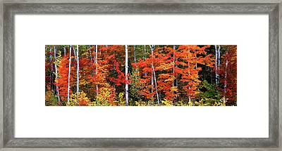 Maple And Birch Trees In A Forest Framed Print