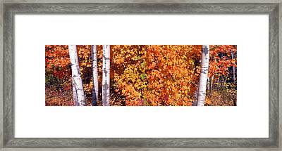 Maple And Birch Trees Near Baywood Framed Print by Panoramic Images