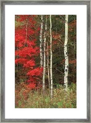 Maple And The Birch Framed Print by Raju Alagawadi